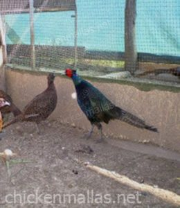Safe pheasants thanks to chickenmallas chicken wire