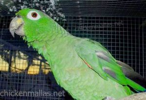 Parrot in cage reinforced with chickenmallas plastic net