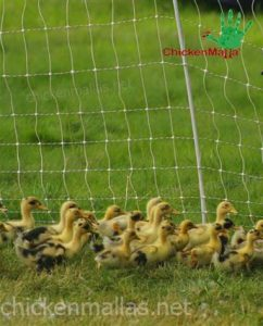 CHICKENMALLAs chicken wire retaining ducks