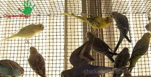 Parakeets encaged with plastic mesh CHICKENMALLA